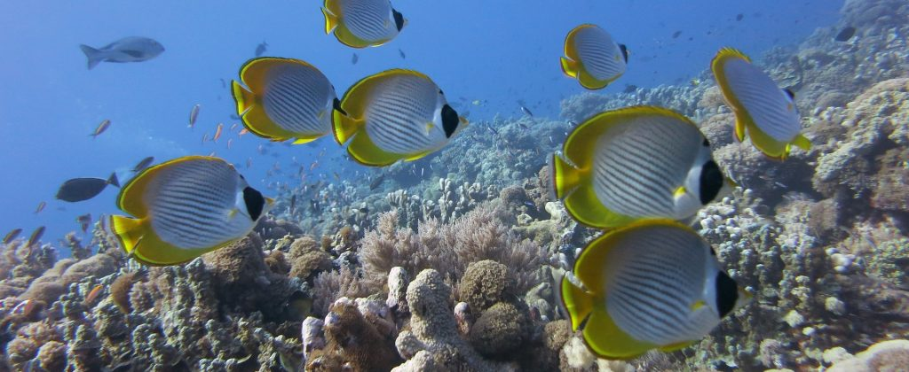 butterflyfish-1430233_1920